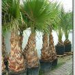 Télálló pálma, yukka Csepel - Mediterrán kertek
